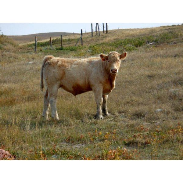 Logan Brothers (Rod, Barry & Bruce) - 690# Steer Calves - 85 Head (Oyen, AB)