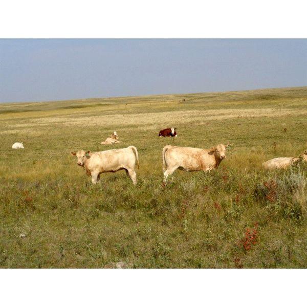 Logan Brothers (Rod, Barry & Bruce) - 640# Heifer Calves - 90 Head (Oyen, AB)