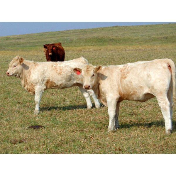 Logan Ranching - 625# Heifer Calves - 90 Head (Oyen, AB)