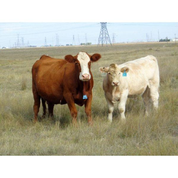 Bruce & Derek Christensen - 690# Steer Calves - 90 Head (Rainier, AB)