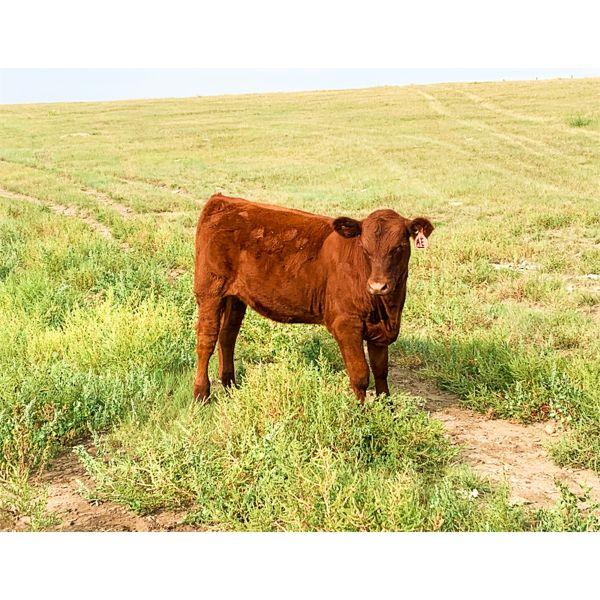 Evans Family (Gary, Carla & Keith) - 560# Heifer Calves - 100 Head (Bassano, AB)