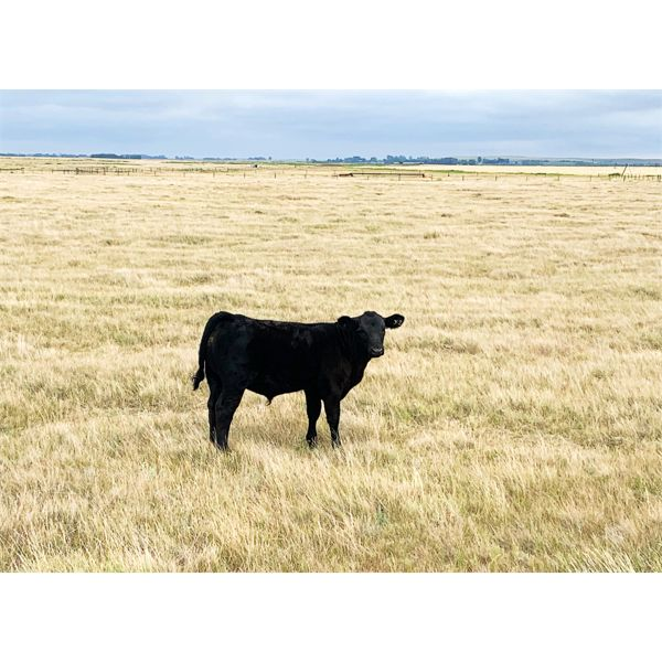 MWA Farms (Marilyn Armstrong) - 580# Steer Calves - 75 Head (Gem, AB)