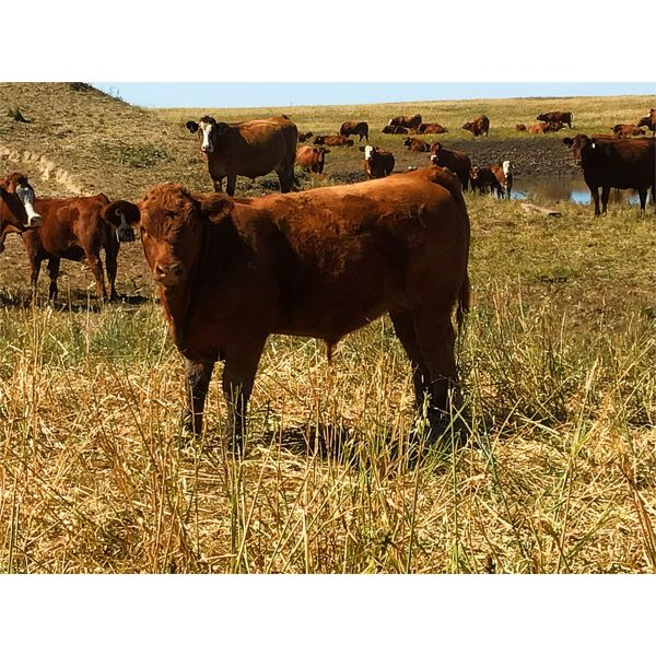 Mashon Ranches - 635# Steer Calves - 95 Head (Homestead Coulee, AB)