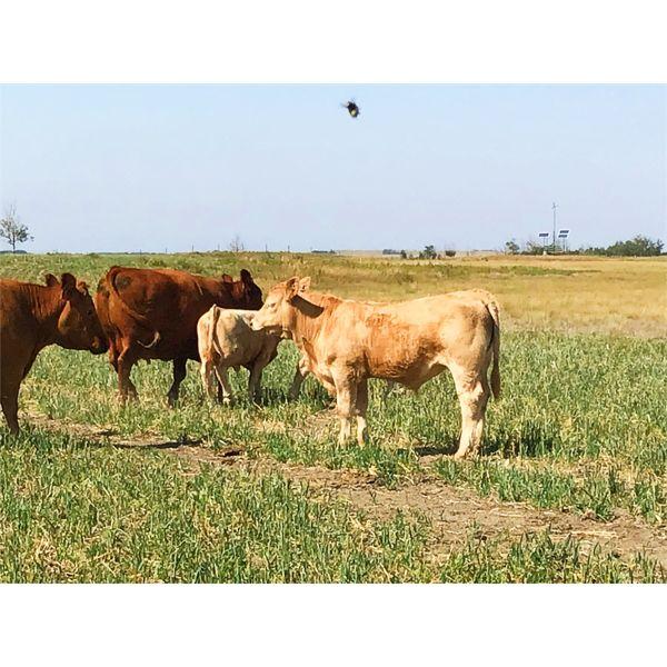 Rick Kelts - 630# Steer Calves - 80 Head (Veteran, AB)