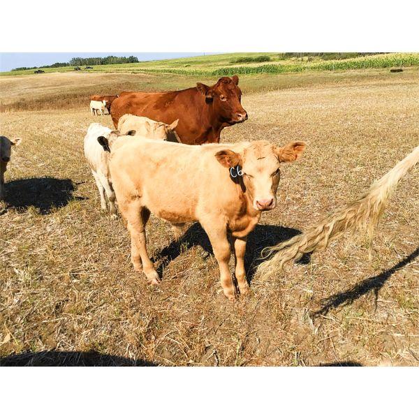 Byron Kelts - 675# Steer Calves - 30 Head (Veteran, AB)
