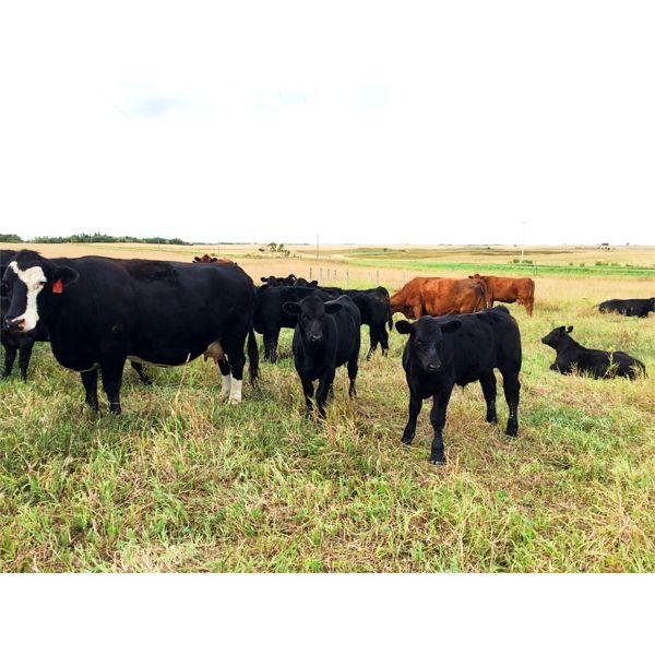 Slemp Farms - 550# Steer Calves - 80 Head (Fleet, AB)