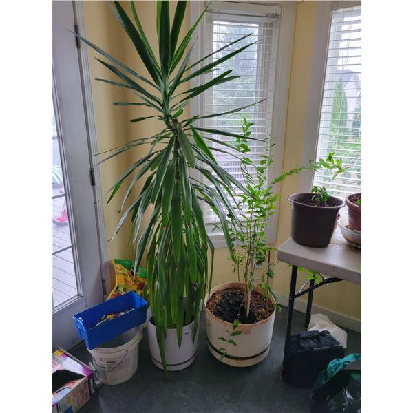 2 Houseplants Tallest 6.5'