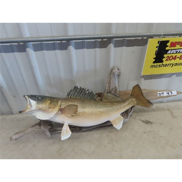 """(DT) Mounted Pickeral Fish 29"""" L"""