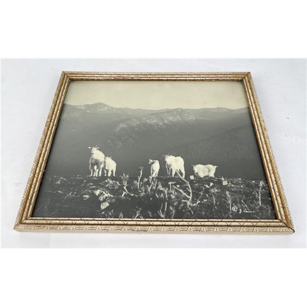 Laine Montana Mountain Goat Photo