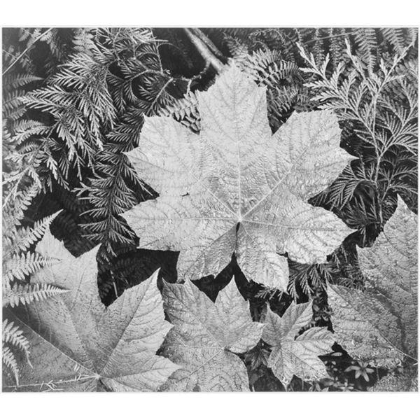 Adams - Leaves