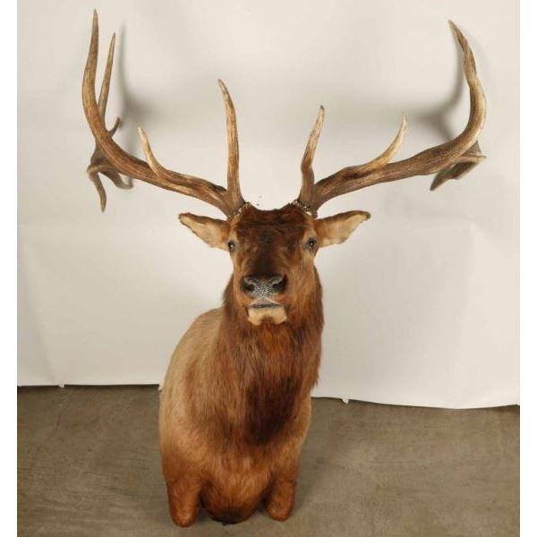 Large Beautiful Elk Shoulder Mount