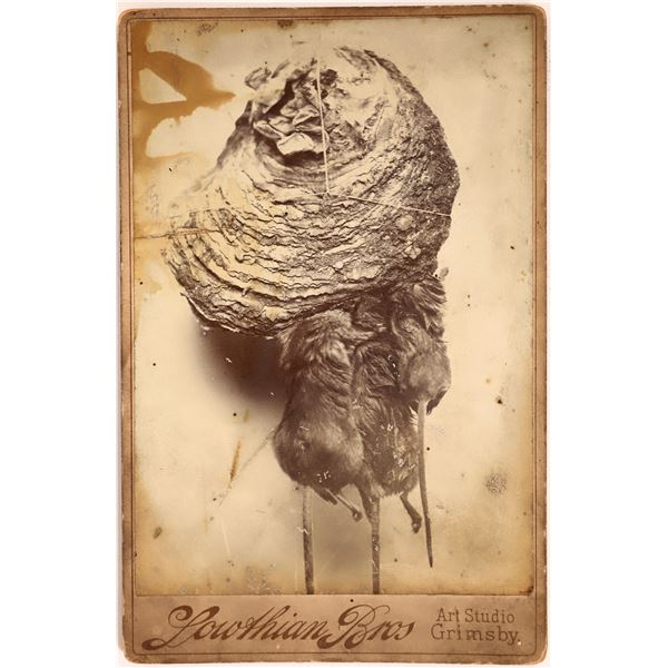 Unusual Cabinet Card: Dead Rats Stuck in a Bee's Nest  [139265]