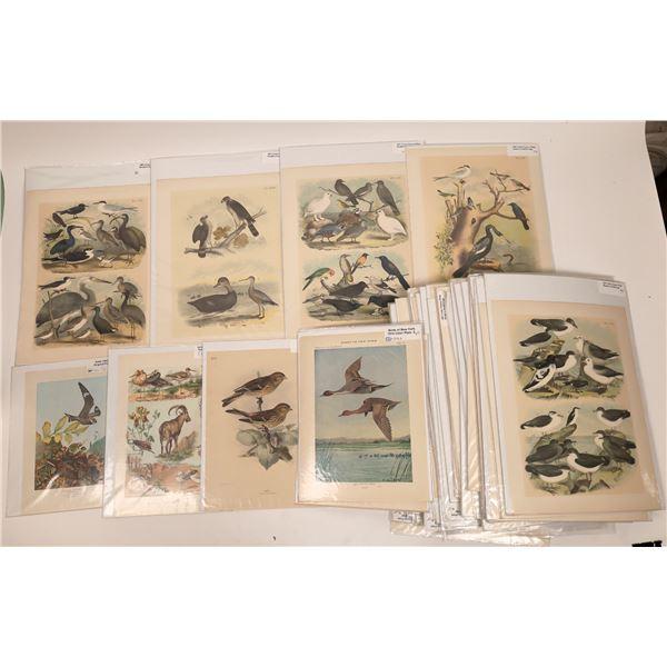 Antique Bird Prints Collection (75+)  [140749]