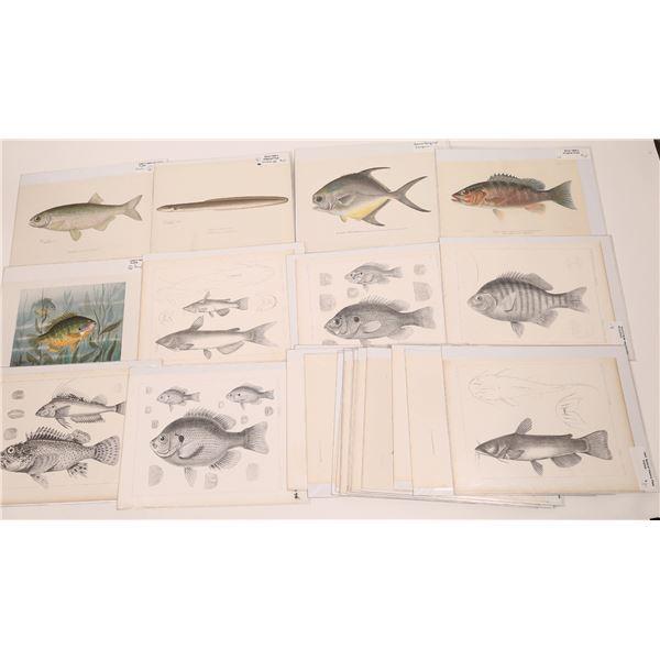 Fish Prints Collection of Early Original Natural History Plates (24 Prints)  [140722]
