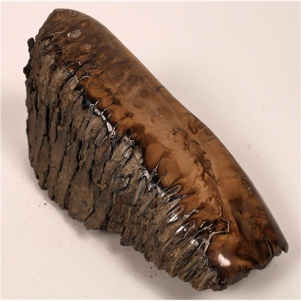 Fossilized Mammoth Tooth, Polished  [140419]