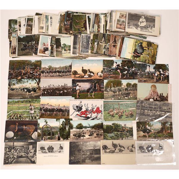 Postcard Collection of Pasadena: Cawston Ostrich Farm  [139862]