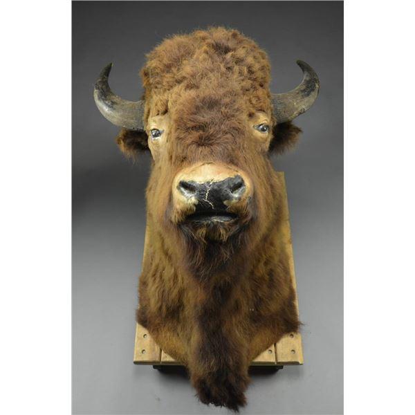 VINTAGE AMERICAN BISON (BUFFALO) MOUNTED HEAD.