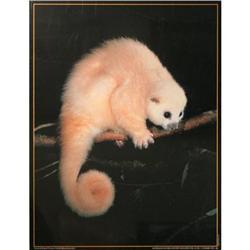 Lemuroid Ringtail Possum Poster #2258861