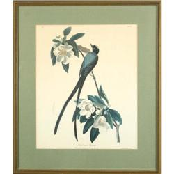 Havell Forked Tail Flycatcher birds print #2355714