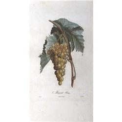 Unknown Muscat - Blanc Lithograph #2376365