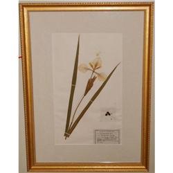 Framed Iris Botanical, c. 1948 signed #2378510
