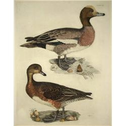 John Selby (British, 1788-1867) Duck Print, Colored Engraving.