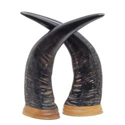 Rare Large Water Buffalo Horn Pair (CLB-361)