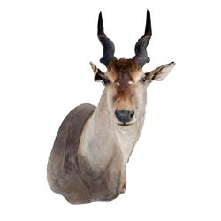 Greater Kudu Shoulder Mount with a significant damage to ear and small losses here and there.with a