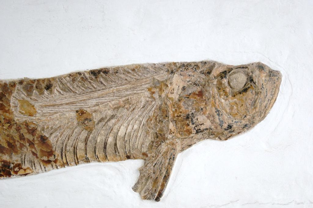 """Fossil """"Xiphactinus"""" Sword Ray bony fish 34"""" long 100 ..."""