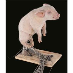Stage 2 Wilbur piglet puppet from Charlotte's Web