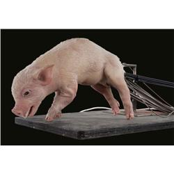 Stage 1 Wilbur piglet puppet from Charlotte's Web