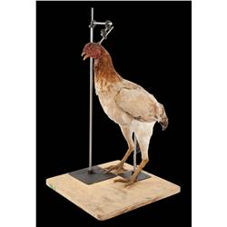"""Rod actuated chicken puppet from Burger King """"Kick'n Chicken"""" commercial"""