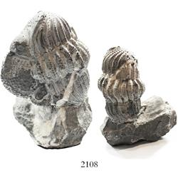Trilobite in matrix (large), 250 to 500 million years old.