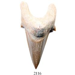 Mackerel shark tooth, 25 million years old, found off South Carolina.