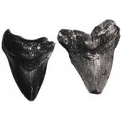 Pair of large megalodon teeth, 25 million years old, found off South Carolina.